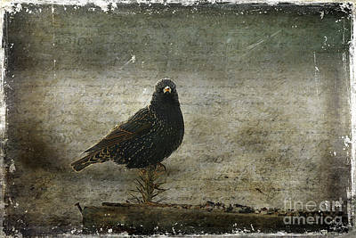European Starling Poster