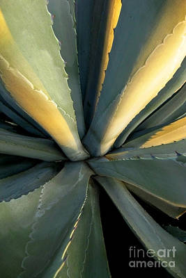 Evening Agave Poster