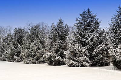 Evergreen Trees In Winter Poster