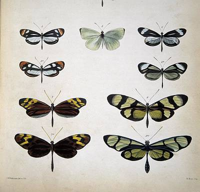 Examples Of Mimicry Among Butterflies Poster by Science Photo Library