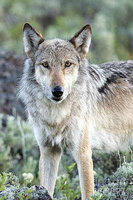 Eye Contact With A Gray Wolf Poster