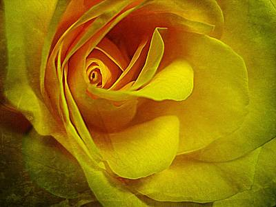Eye Of Rose Poster by Shirley Sirois