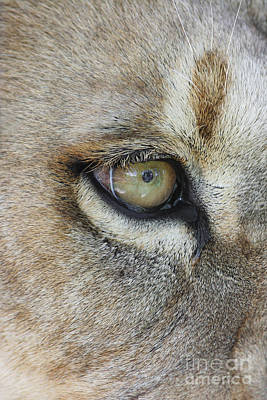 Poster featuring the photograph Eye Of The Lion by Judy Whitton