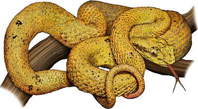 Eyelash Viper, Illustration Poster by Roger Hall