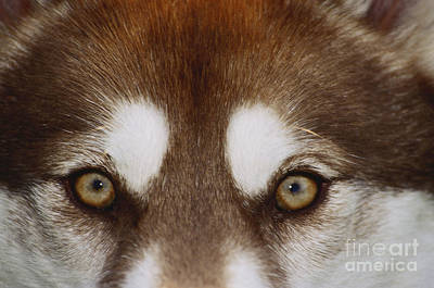 Eyes Of A Red Siberian Husky Poster