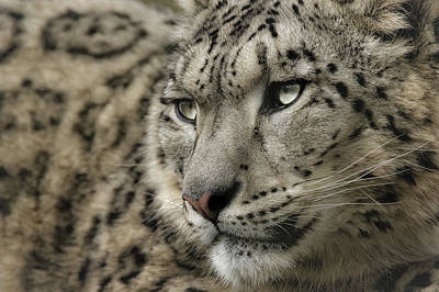Eyes Of A Snow Leopard Poster by Chris Boulton