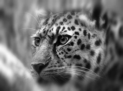 Eyes Of The Leopard Poster by Daniel Hagerman