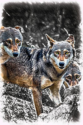 Eyes Of The Red Wolf Poster by John Haldane