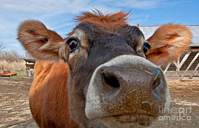 Face Of Young Jersey Cow Heifer Poster