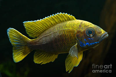 Fairy Cichlid Poster