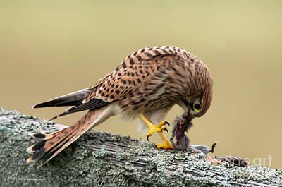 Falcon's Breakfast  Poster by Torbjorn Swenelius