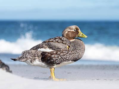 Falkland Flightless Steamer Duck Poster by Martin Zwick