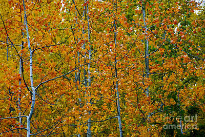 Poster featuring the photograph Fall Aspen by Sam Rosen