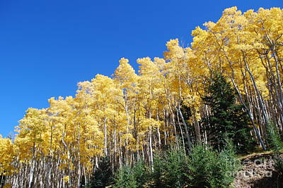 Fall Aspens Of New Mexico Poster by William Wyckoff