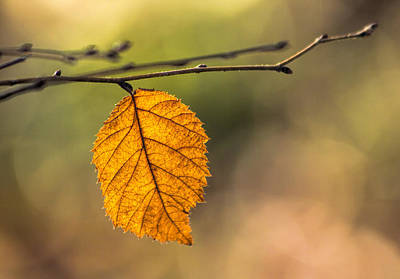 Leaf In Fall Color Poster by Francis Sullivan