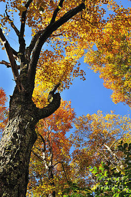 Fall Color Sugar Maple Poster by Thomas R Fletcher