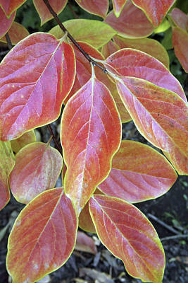 Fall Foliage, The Autumn Leaves Poster by Dave Bartruff