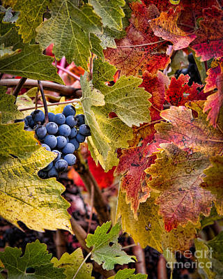 Fall Grapes Poster by Ana V Ramirez