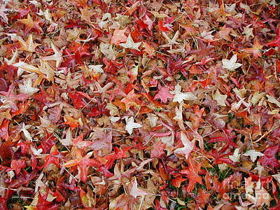 Fall Leaves Poster by Bev Conover
