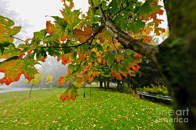 Fall Maple Tree In Foggy Park Poster