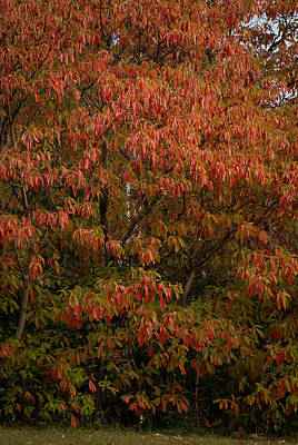 Poster featuring the photograph Fall Sassafras Trees by Wayne Meyer