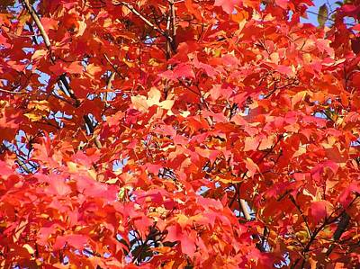 Fall Sugar Maple Poster