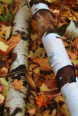 Fallen Birch Poster by Alicia Knust