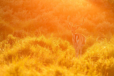 Fallow Deer At Sunset Poster by Roeselien Raimond