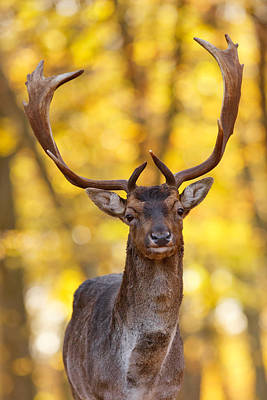 Fallow Deer In Autmn Forest II Poster by Roeselien Raimond