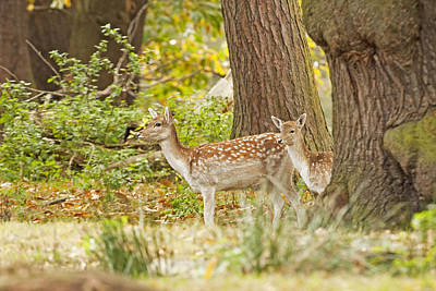 Poster featuring the photograph Fallow Deer Woodland Scene by Paul Scoullar