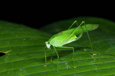 False Leaf Katydid Poster by Pete Oxford