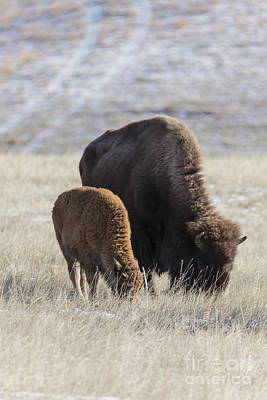 Bison Calf Having A Meal With Its Mother Poster