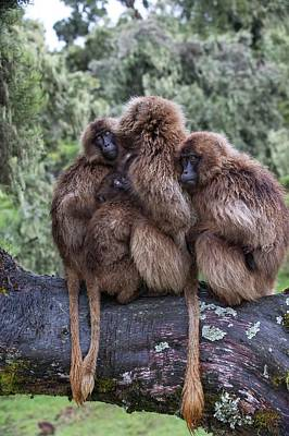 Family Of Gelada Baboons Huddled Together Poster