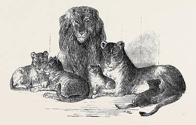 Family Of Lions In The Gardens Of The Clifton And Bristol Poster
