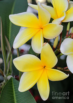 Fancy Yellow Frangipani Poster by Sabrina L Ryan