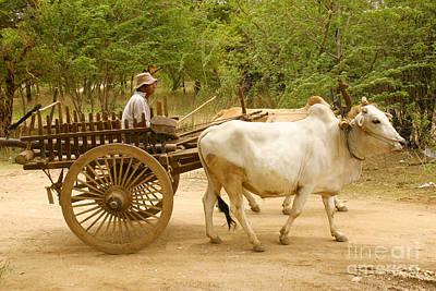 Farmer Driving An Ox Cart Old Bagan Burma Poster by Ralph A  Ledergerber-Photography