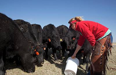 Farmer Feeding Cattle Poster