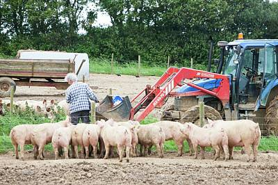 Farmer Feeds Organic Middle White Pigs Poster by Ashley Cooper