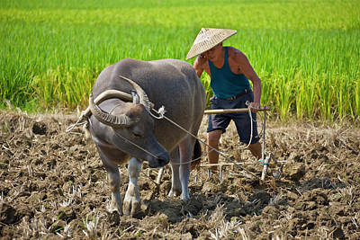 Farmer Plowing With Water Buffalo Poster by Keren Su
