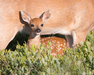 Fawn And Mom Poster