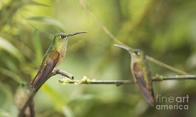 Fawn-breasted Brilliant Hummingbirds Poster