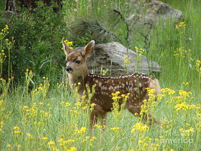 Fawn In Evergreen Colorado Poster