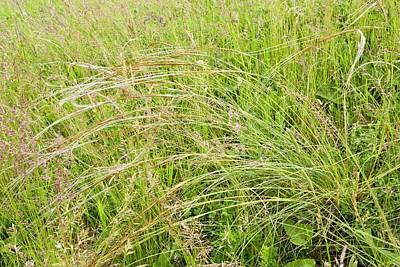 Feather Grass (stipa Pennata) In Flower Poster
