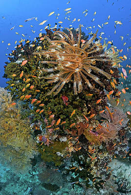 Feather Star (crinoidea Poster by Jaynes Gallery