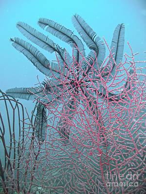 Feather Star Dancer Poster by Gary Bridger