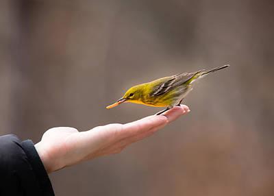 Feeding Time - Pine Warbler Poster