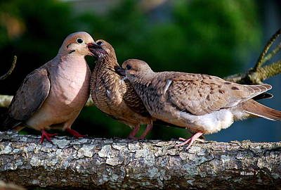 Feeding Twin Mourning Doves Poster