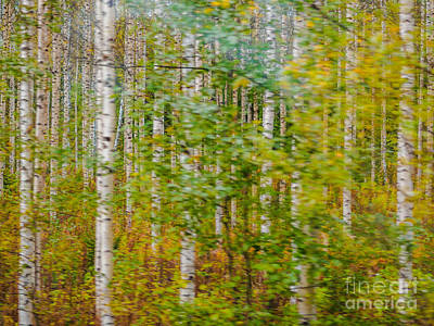 Feels Like Autumn In A Forest Of Birch Trees Poster