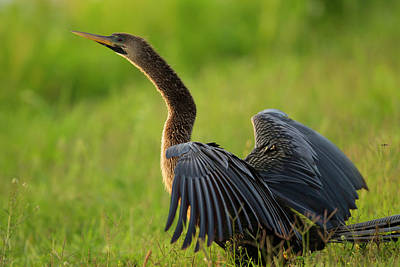 Female Anhinga Drying Out Wings Poster