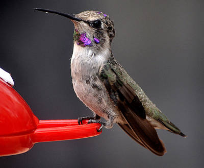 Poster featuring the photograph Female Anna's Hummingbird On Perch Posing For Her Supper by Jay Milo